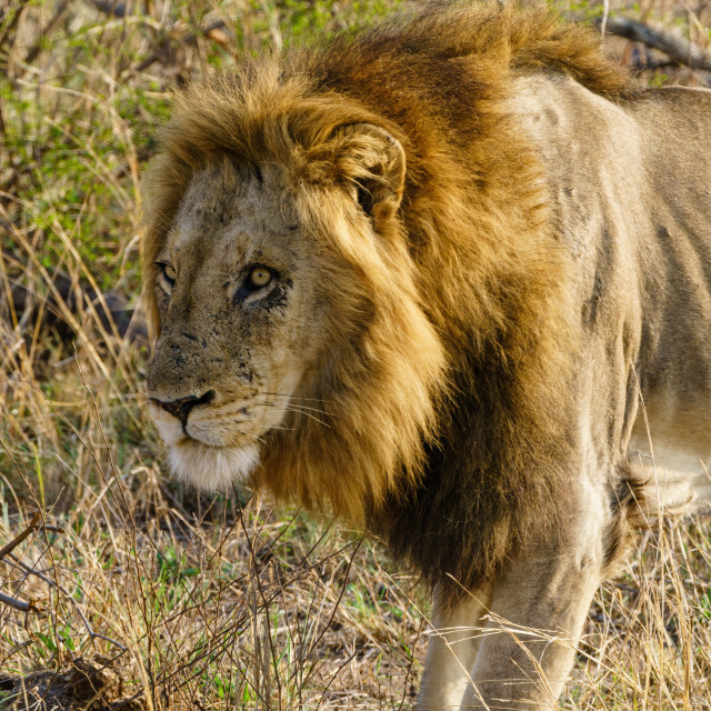 """Lion (Panthera leo)"" stock image"