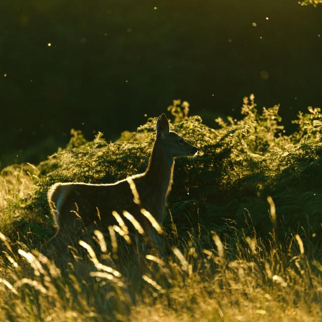 """""""Red deer (Cervus elaphus), taken in United Kingdom"""" stock image"""