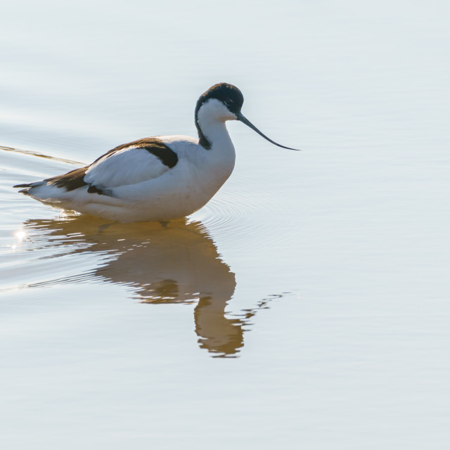 """""""Pied Avocet (Recurvirostra avosetta) wading through shallow waters for food"""" stock image"""