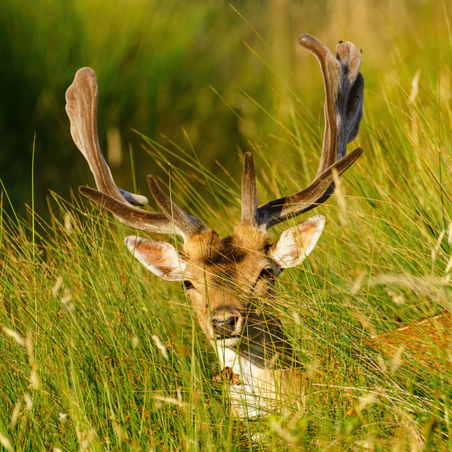 """Male Fallow Deer (Dama dama) in summer, taken in UK"" stock image"