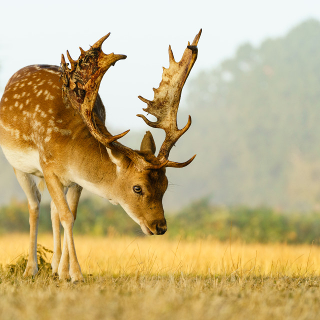 """Male Fallow Deer (Dama dama) in early morning autumn light, taken in UK"" stock image"