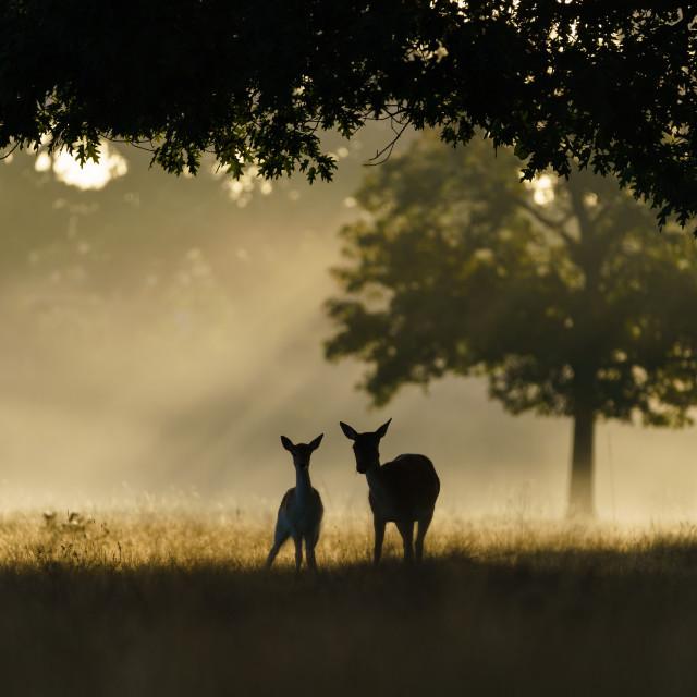 """Monther and fawn Fallow Deer (Dama dama), taken in UK"" stock image"