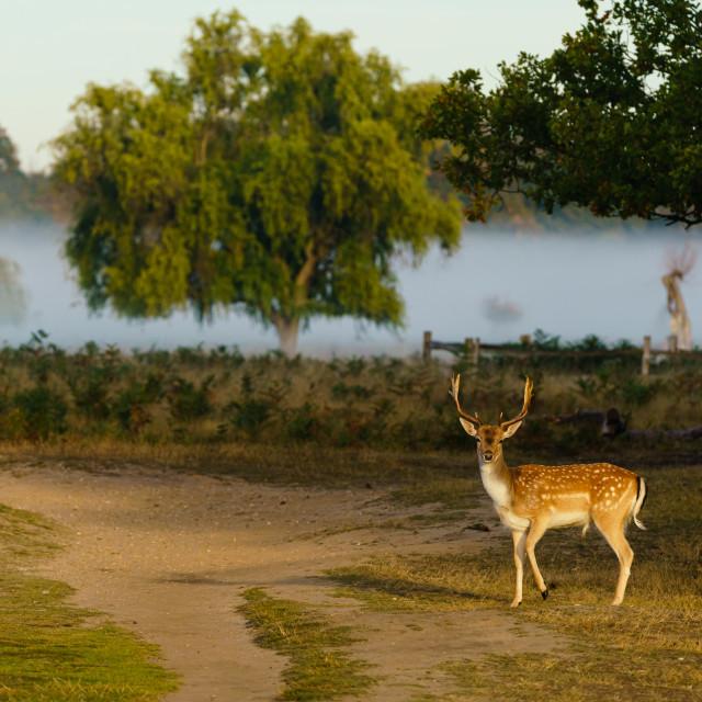 """""""Male Fallow Deer (Dama dama), taken in UK"""" stock image"""