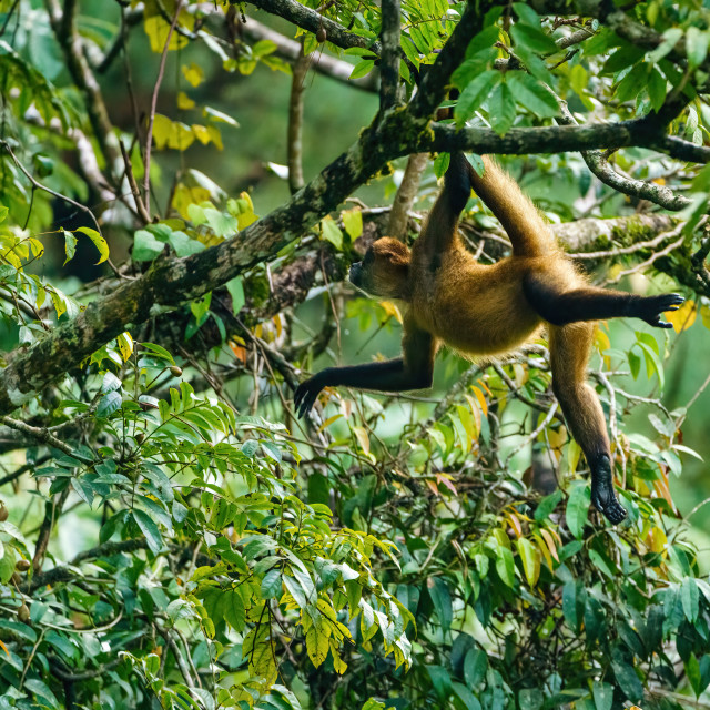 """Geoffroy's spider monkey (Ateles geoffroyi) in a tree in Costa Rica"" stock image"