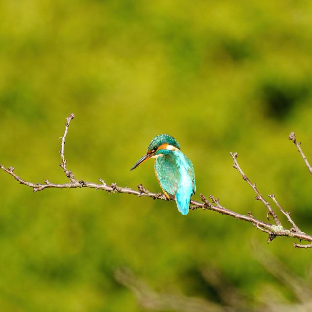 """Common Kingfisher (Alcedo atthis), taken in the UK"" stock image"