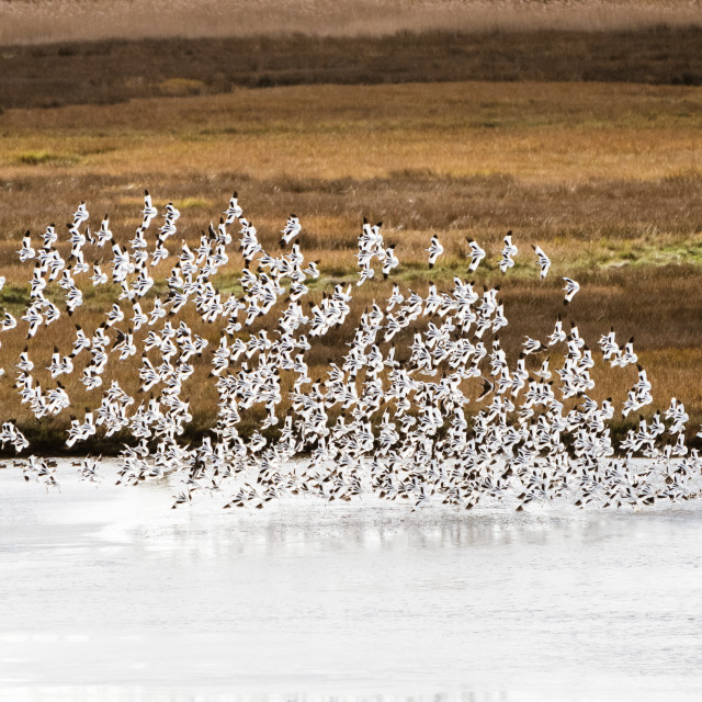 """Pied Avocet (Recurvirostra avosetta) flock in flight, taken in the UK"" stock image"