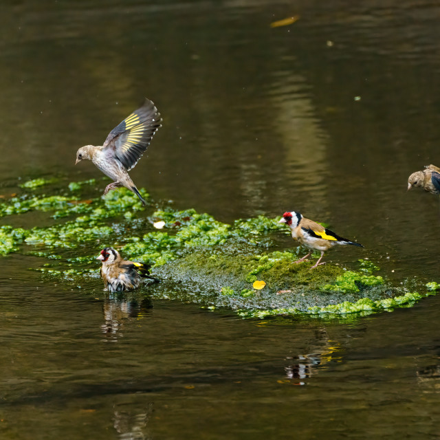 """""""European Goldfinch (Carduelis carduelis) bathing in a small river in the UK"""" stock image"""