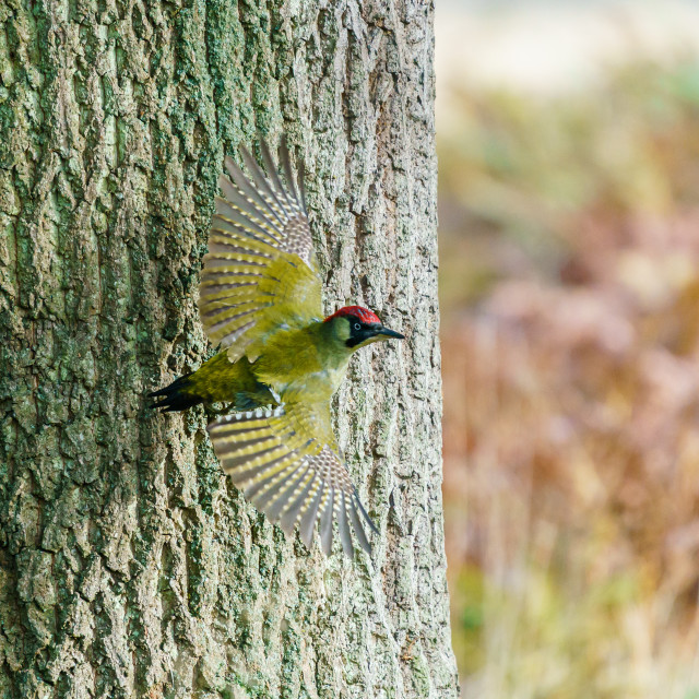 """""""Green Woodpecker (Picus viridis) taking off from a tree, taken in the UK"""" stock image"""