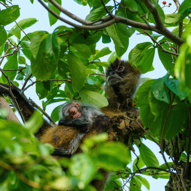 """Geoffroy's spider monkey (Ateles geoffroyi) with baby in Costa Rica"" stock image"