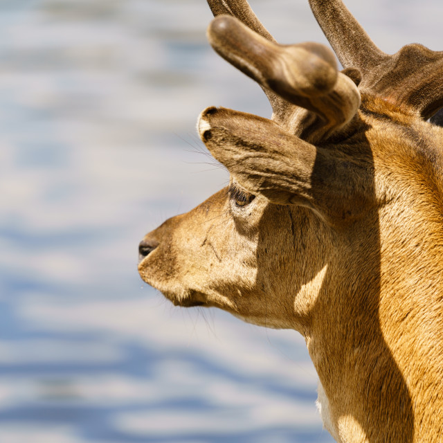 """Male Fallow Deer (Dama dama) looking out over water, taken in UK"" stock image"