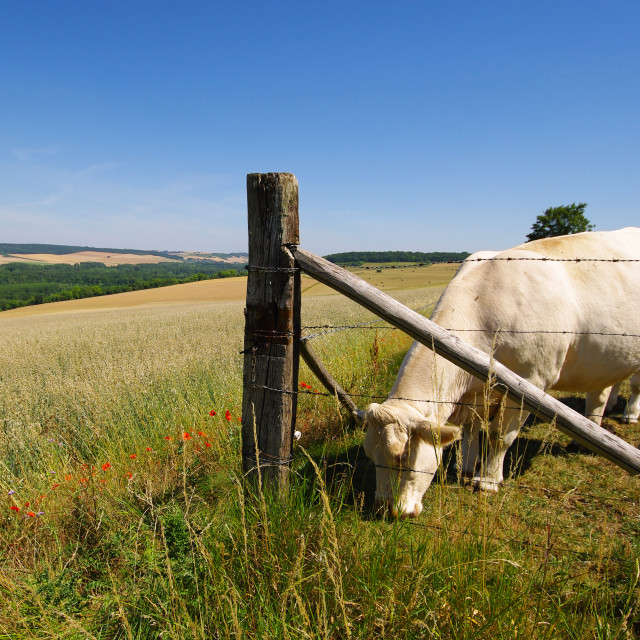 """Cattle farming"" stock image"