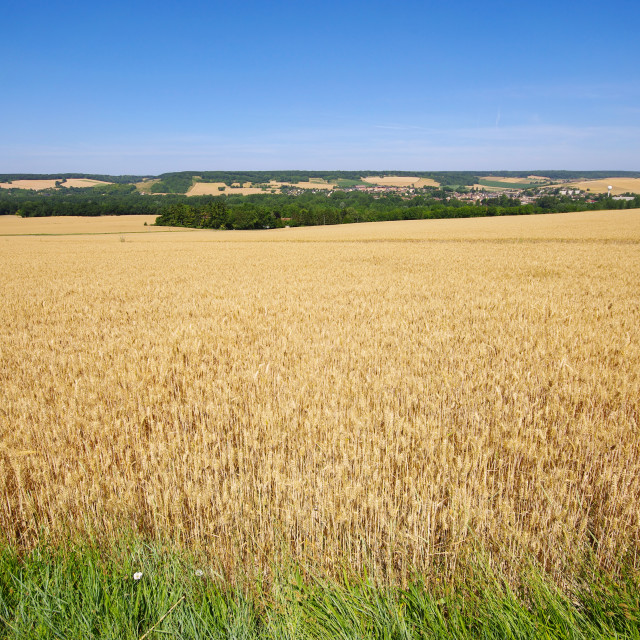 """In a sea of wheat"" stock image"