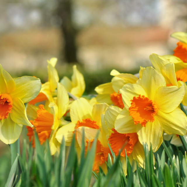 """panoramic view on beautiful daffodils blooming in a garden"" stock image"
