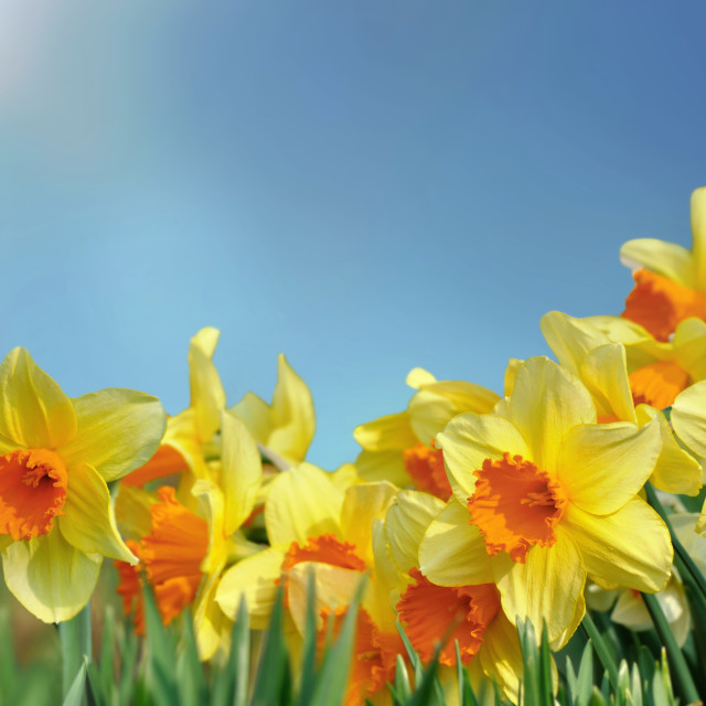 """field of beautiful daffodils blooming under blue sky"" stock image"