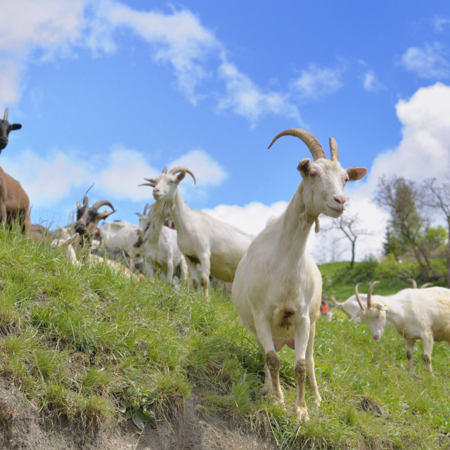 """white bautiful alpine goast in pasture at spring"" stock image"