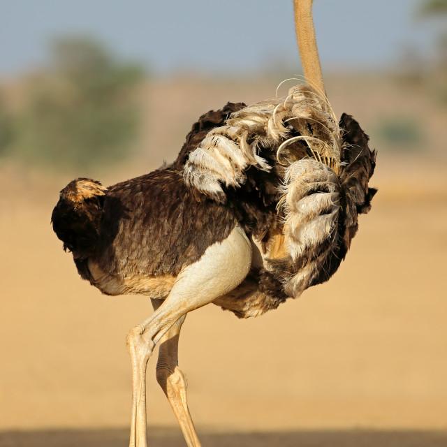 """""""Displaying female ostrich - Kalahari desert"""" stock image"""