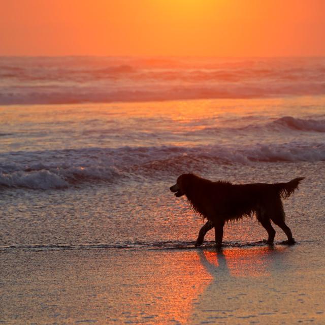 """Dog on scenic beach at sunset"" stock image"