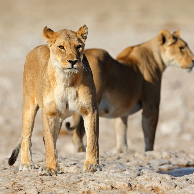 """Lionesses at a waterhole - Etosha"" stock image"