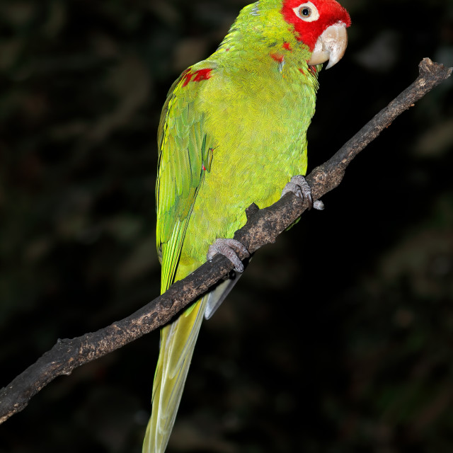 """""""Red-masked conure on a branch"""" stock image"""
