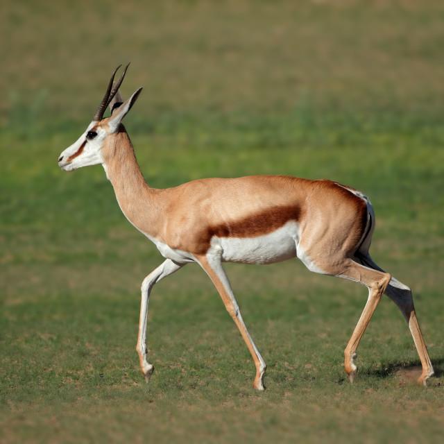 """Running springbok antelope"" stock image"