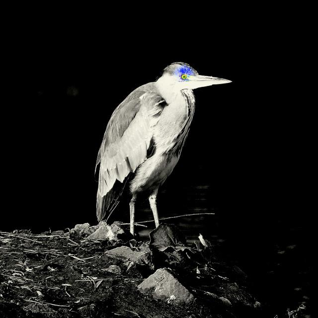 """Heron"" stock image"