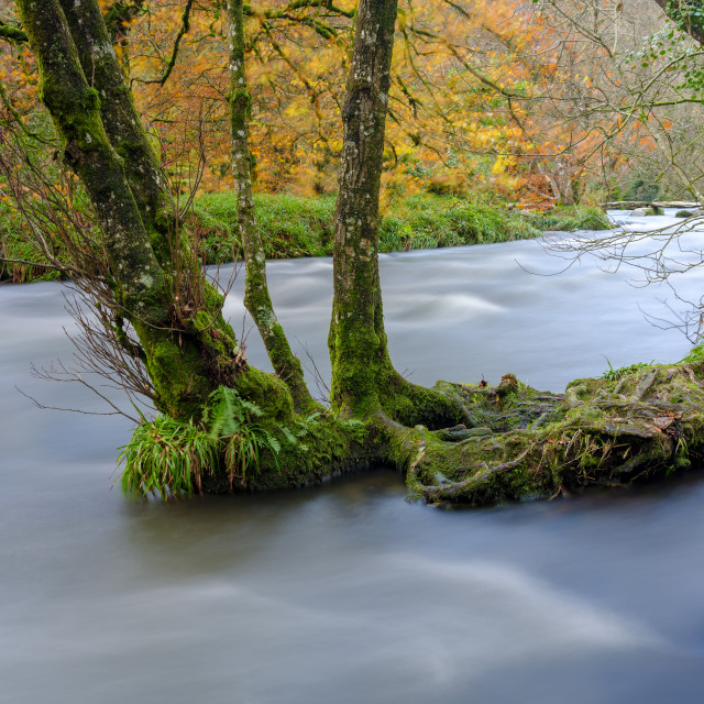 """Autumn colours and tree roots with a full flowing river Barle ne"" stock image"