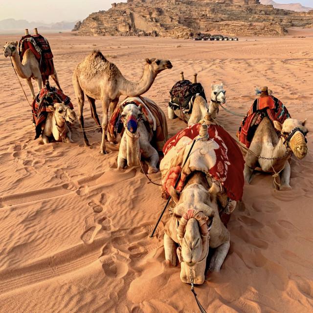 """""""Camel Break!"""" stock image"""