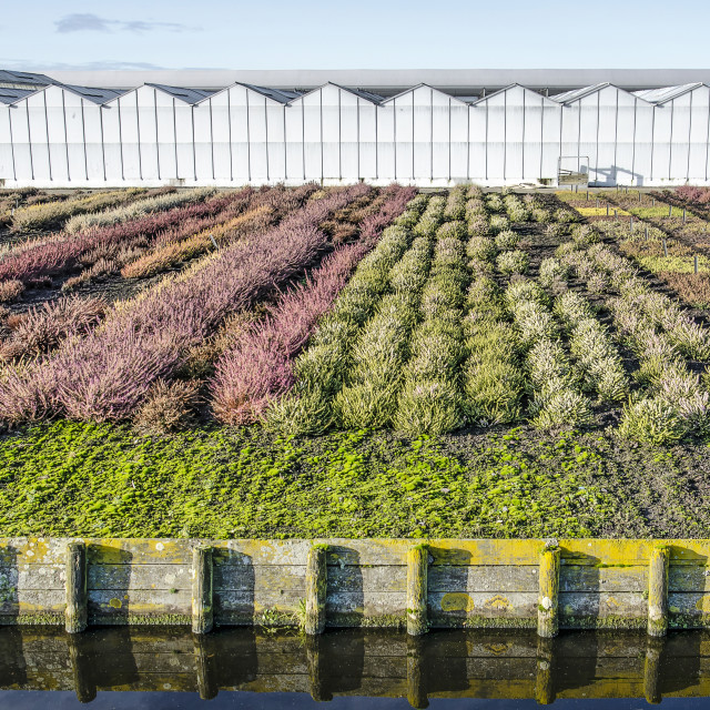 """Heath nursery in the Netherlands"" stock image"