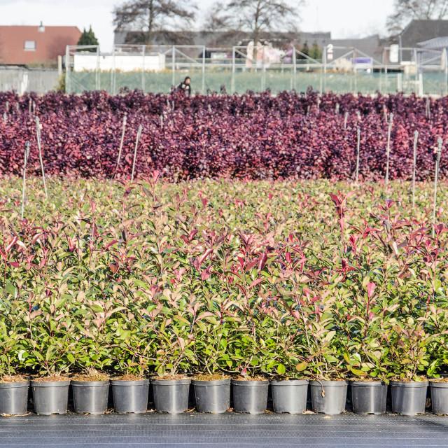 """""""Tree nursery in Boskoop, Holland"""" stock image"""