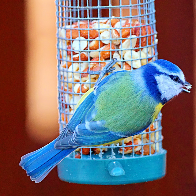 """Blue Tit"" stock image"