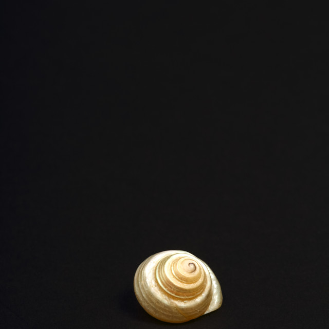 """Pearl Venetian seashell found in the mediterranean isolated on a black background"" stock image"