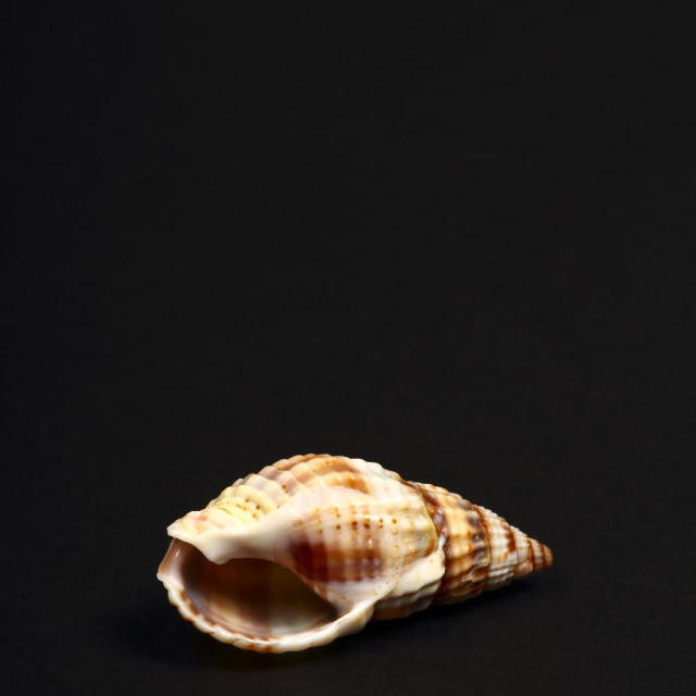 """Striped Whelk seashell found in the Adriatic,the British Isles and on the north American Atlantic coast"" stock image"