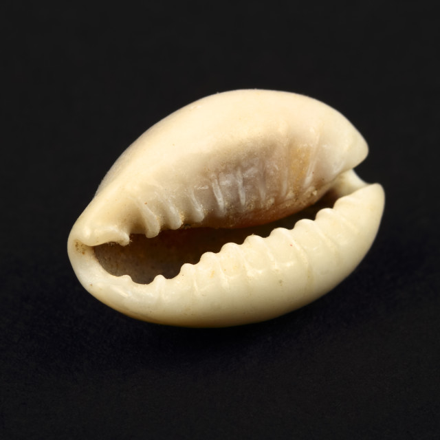 """Ring top cowry seashell found in africa isolated on a black background"" stock image"