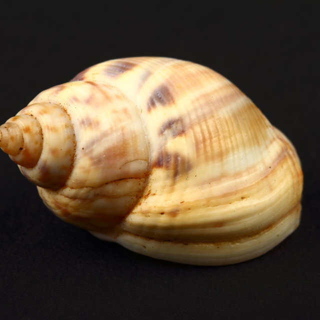 """Honey Whelk seashell found in Greece isolated on a black background"" stock image"