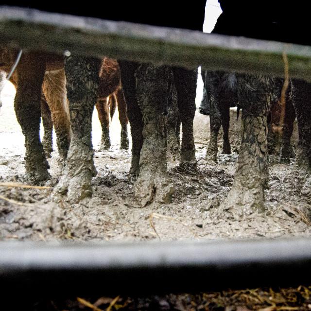 """Muddy cow feet"" stock image"