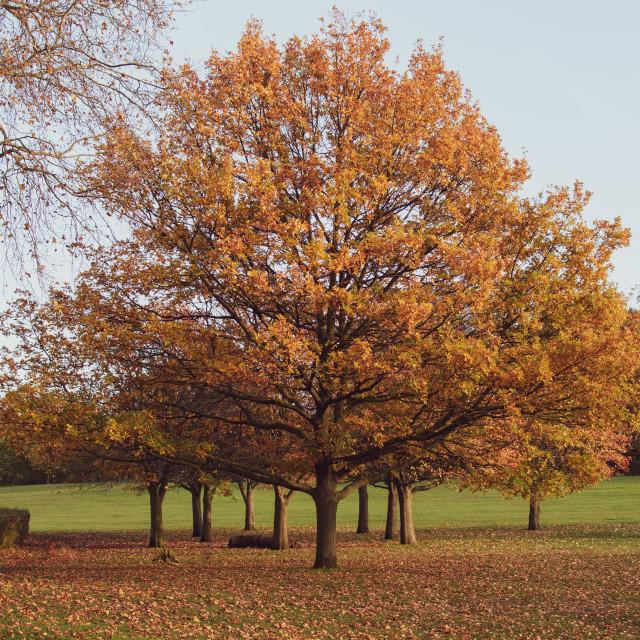"""Single autumnal trees"" stock image"