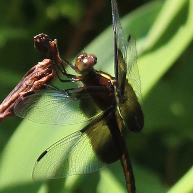 """resting dragonfly in the sun"" stock image"