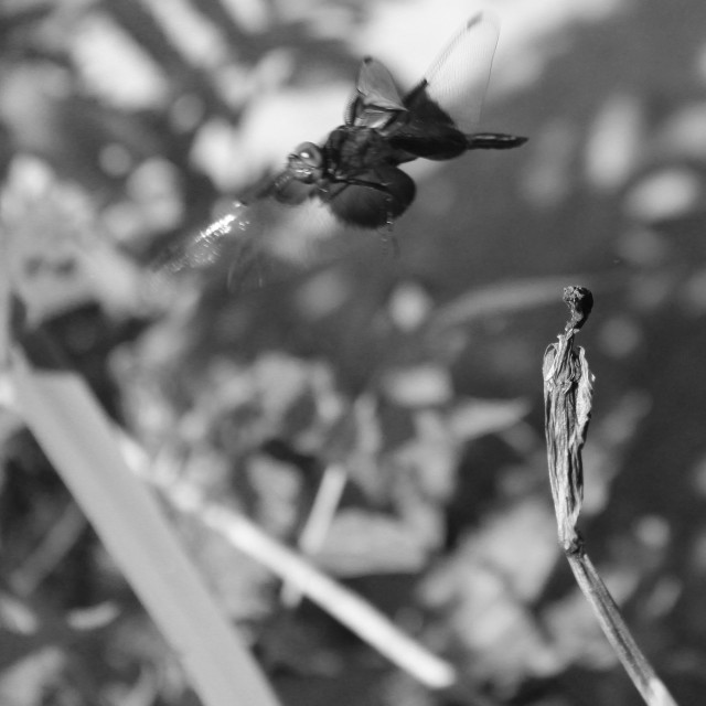 """fly away dragonfly in black and white"" stock image"