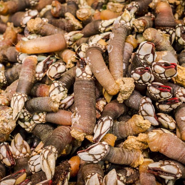 """""""Goose barnacles sold at a market in Malaga, Spain."""" stock image"""