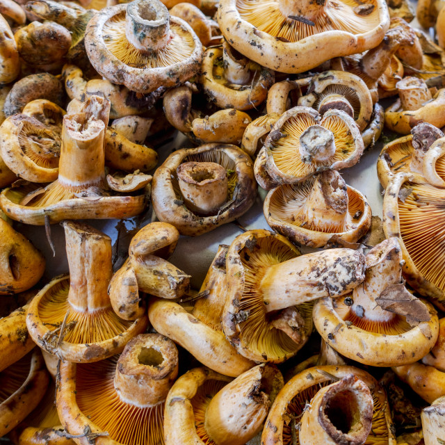 """Saffron milk cap or pine mushroom, sold at a market in Malaga, Spain."" stock image"