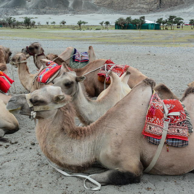"""Riding camel in Ladakh, India"" stock image"