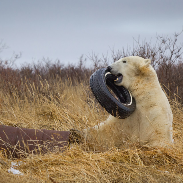 """Health-conscious polar bear."" stock image"