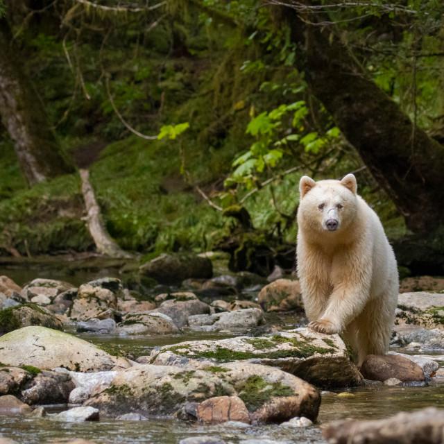 """Spirit Bear."" stock image"