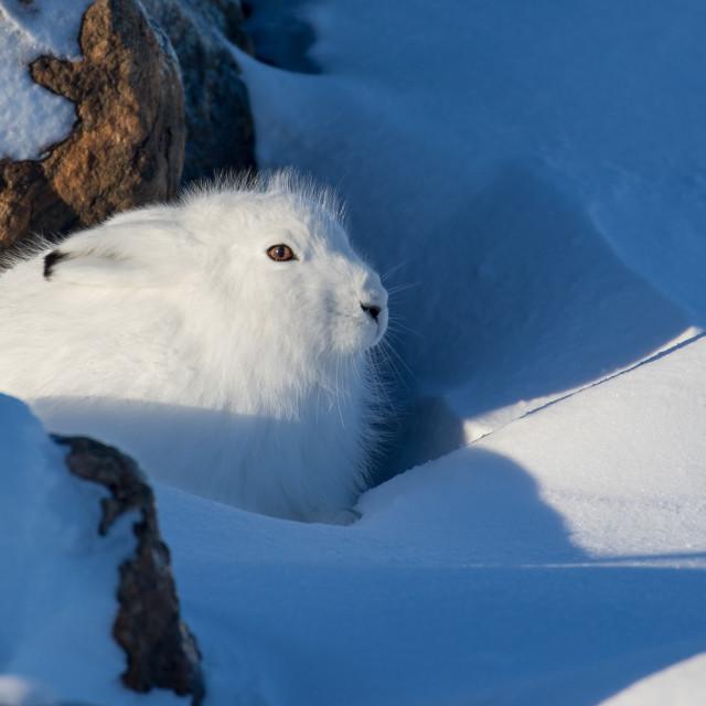 """Arctic hare."" stock image"
