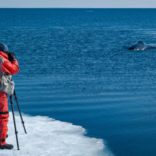 """Bowhead whale."" stock image"