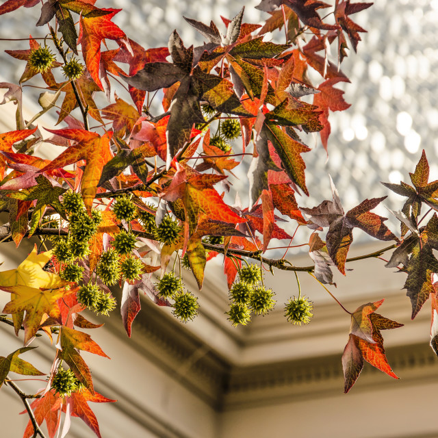 """""""Sweet gum tree and museum"""" stock image"""