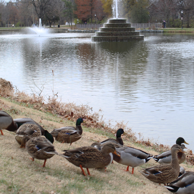 """a badling of ducks"" stock image"