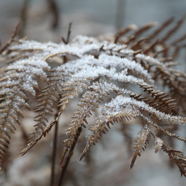 """""""Frosted Ferns"""" stock image"""