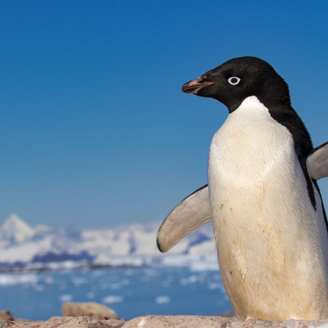 """Adelie penguin at Petermann Island"" stock image"