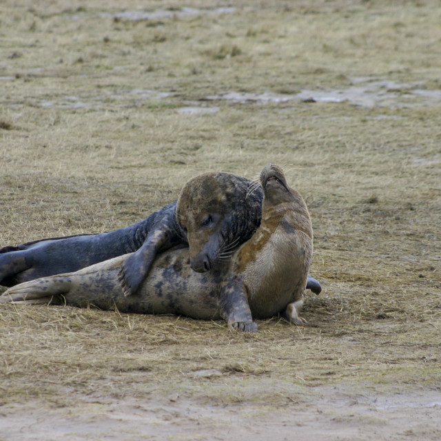 """""""Grey Seals Mating at the Donna Nook Nature Reserve"""" stock image"""